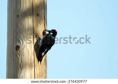 Acorn Woodpecker brings a nut to a nest hole in a utility pole - stock photo