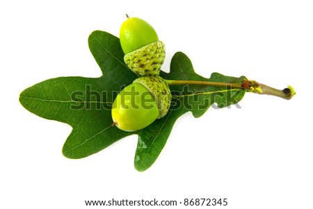 acorns and the oak leaves on a white background - stock photo