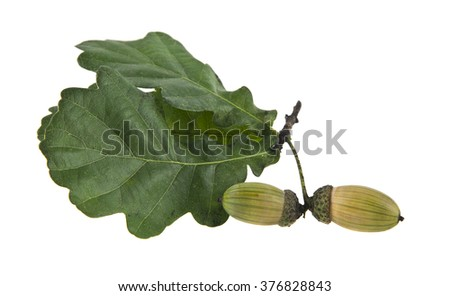 acorns are isolated on a white background - stock photo