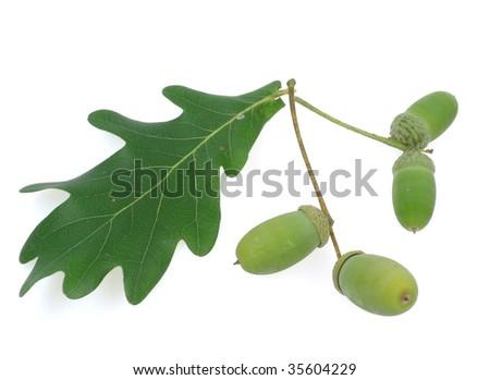 acorns isolated - stock photo