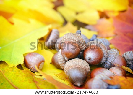 Acorns on background colorful fall leaves - stock photo