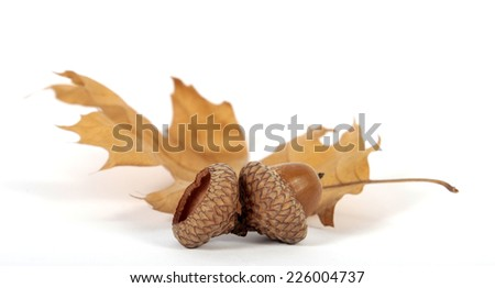 Acorns with an oak leaf on the white background - stock photo