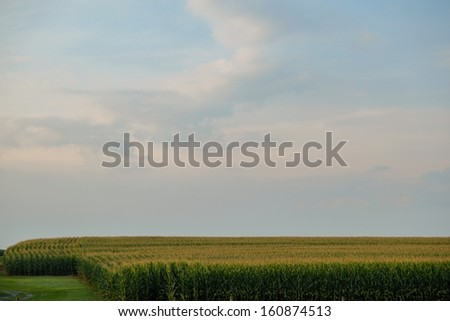 Acres and acres of fresh, amish country corn in a amish cornfield stand ready for picking  - stock photo