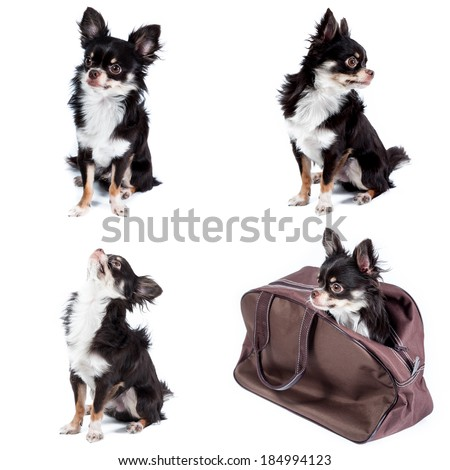 Actions of chihuahua isolated on white background - stock photo
