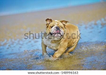 Active athletic dog english bulldog running at the sea - stock photo