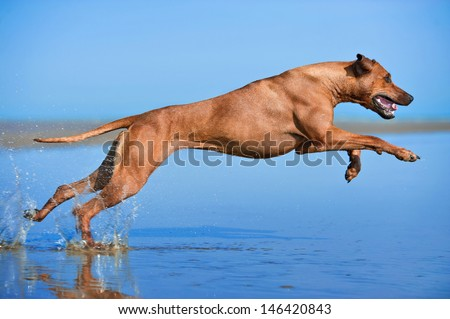Active athletic dog running at the sea - stock photo
