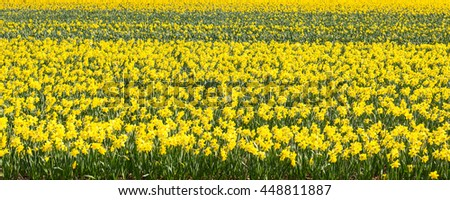 Active cycling holiday travel background with two bicycles parked near vibrant yellow daffodil blooming field, Holland - stock photo