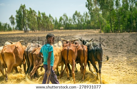 ADDIS ABABA, ETHIOPIA - MAY 1, 2015 : Ethiopian young boy using herd of oxen for threshing harvest. - stock photo