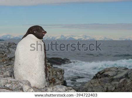 Adelie penguin portrait, snowy mountain range and the sea in background, Antarctic Peninsula - stock photo