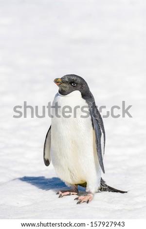 Adelie Penguin (Pygoscelis adeliae) portrait - stock photo