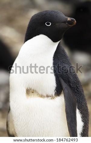 Adelie Penguin, Pygoscelis adeliae, portrait, Antarctica. - stock photo