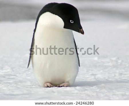 Adelie penguin (Pygoscelis adeliae) posing on Antarctica - stock photo