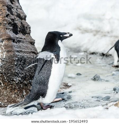 Adelie penguin (Pygoscelis adeliae) witha stone in a beak near a rock on the snow - stock photo