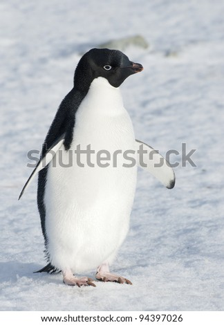 Adelie penguin standing on the snow. - stock photo