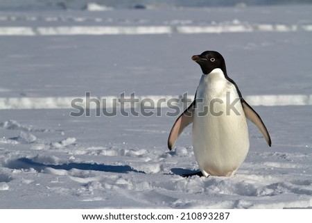 Adelie penguin which stands on the ice of the Antarctic Strait spring sunny day - stock photo