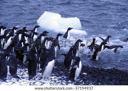 Adelie penguins, jumping into the ocean,[Pygoscelis adeliae]Brown Bluff,Antarctica - stock photo