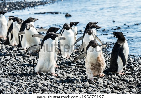 Adelie penguins (Pygoscelis adeliae) on the coast of the ocean in Antarctica - stock photo