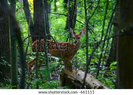 Adolescent fawn still in spots - stock photo
