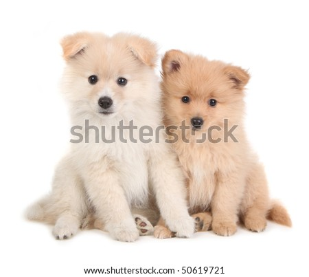 Adorable and Cute Pomeranian Puppies Sitting Together on White Background - stock photo