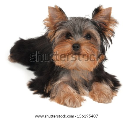 Adorable and cute puppy of the Yorkshire Terrier - stock photo