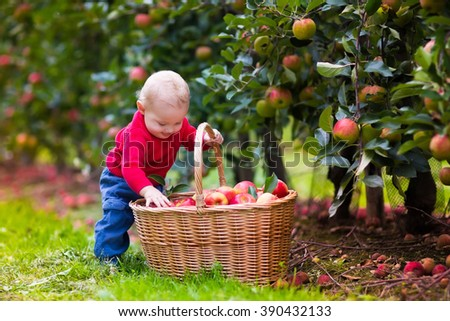 Adorable baby boy picking fresh ripe apples in fruit orchard. Children pick fruits from apple tree. Family fun during harvest time on a farm. Kids playing in autumn garden. Child eating healthy fruit. - stock photo