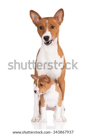 adorable basenji dog with a puppy - stock photo