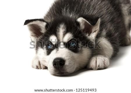 Adorable black and white with blue sleepy eyes Husky puppy lying. Studio shot. Isolated on white background. Focused on eyes. - stock photo