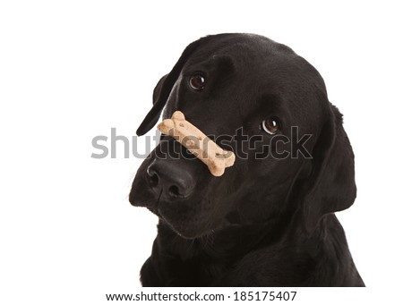 Adorable black lab puppy balancing a dog treat on her nose.  Isolated on white.  Room for your text. - stock photo