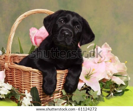 Adorable Black Labrador Puppy in basket with flowers - stock photo