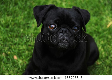 Adorable black pug outdoors with a green grass background - stock photo