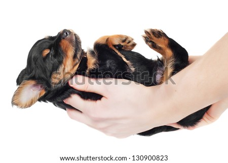 adorable black puppy asleep upside down in owner's hands - stock photo