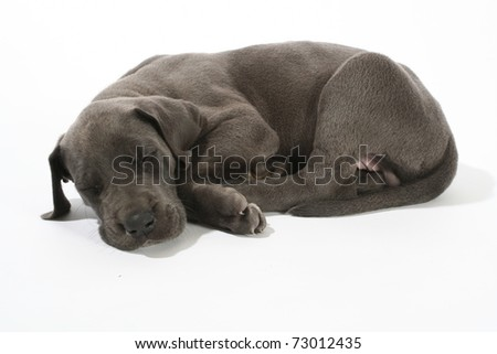 Adorable Blue Great Dane puppy isolated on white sleeping - stock photo