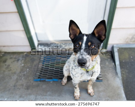 Adorable Blue Heeler Mix on Sitting on Porch - stock photo