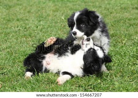 Adorable border collie puppies playing in the garden - stock photo