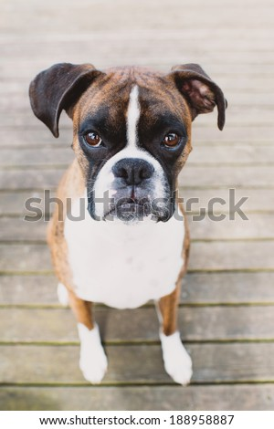 Adorable Brindle Boxer Dog Outside on Wooden Deck During Warm Sunny Weather - stock photo