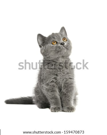 adorable British blue shorthair kitten on a white background.  - stock photo