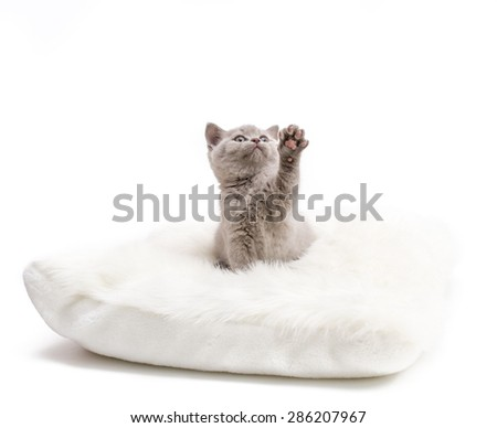 Adorable british little kitten posing on a pillow. Give me Five - stock photo