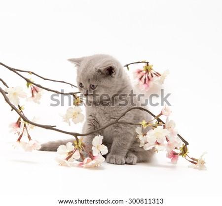 Adorable british little kitten posing with sakura - stock photo