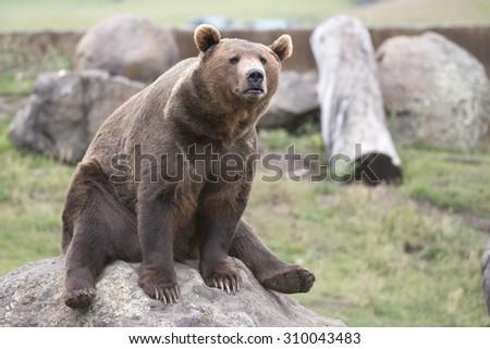 adorable brown bear photo - stock photo