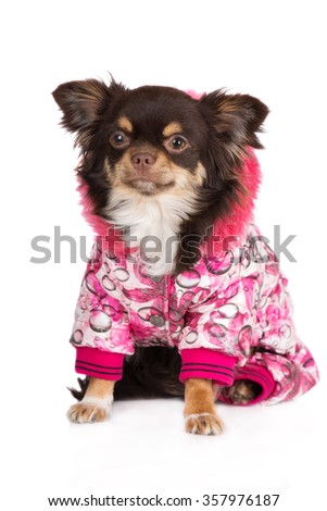 adorable brown chihuahua dog in a winter jacket - stock photo