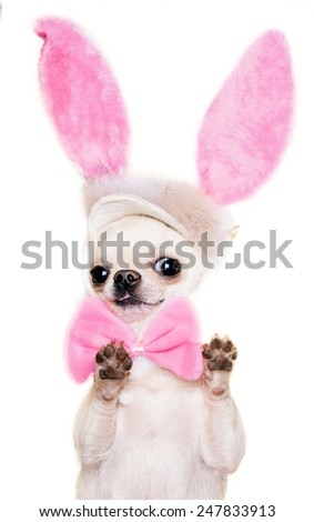 adorable chihuahua dog in a costume of Easter hare standing with paws up isolated - stock photo