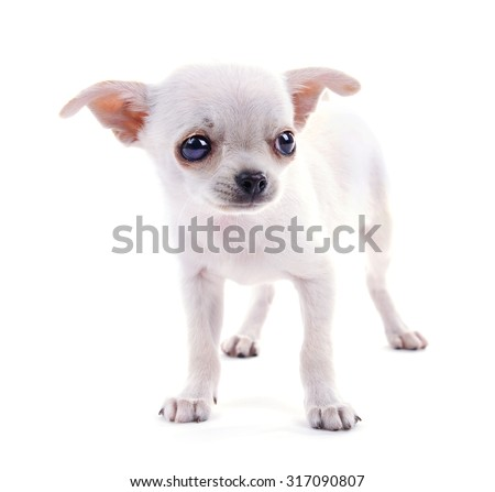 Adorable chihuahua dog isolated on white - stock photo