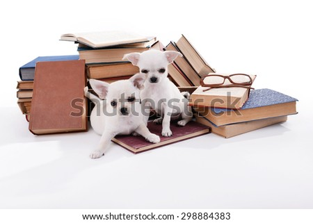 Adorable chihuahua dogs and heap of books isolated on white - stock photo