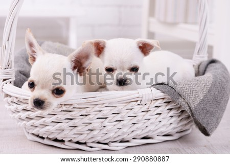 Adorable chihuahua dogs in basket in room - stock photo