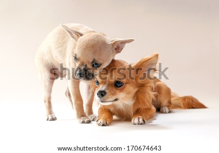 adorable chihuahua puppies  cuddling each other on neutral background  - stock photo