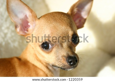 Adorable chihuahua puppy dog, close-up - stock photo