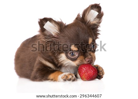 adorable chihuahua puppy eating strawberry - stock photo