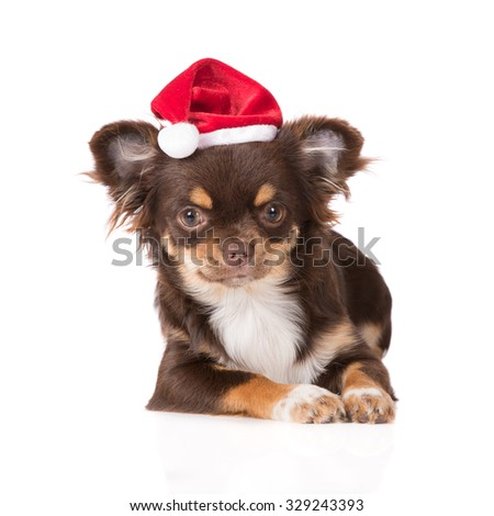 adorable chihuahua puppy in a santa hat - stock photo