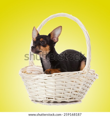 adorable Chihuahua puppy on Yellow background - stock photo