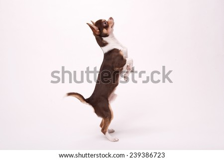 adorable Chihuahua puppy staying  on hind legs on floor isolated on white  background looking aside   - stock photo
